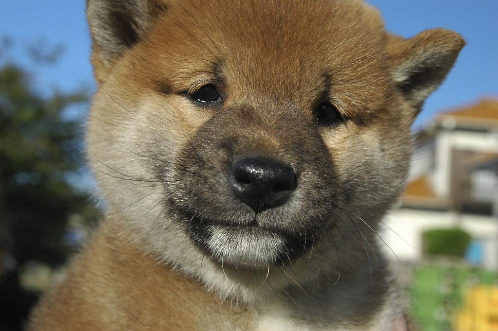 Shiba inu, la crypto qui veut tuer le dogecoin